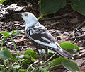 Common Grackle Leucistic.jpg
