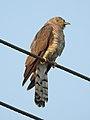 Common Hawk Cuckoo Hierococcyx varius by Dr. Raju Kasambe DSCN2458 (3).jpg
