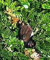 Common Myna - Basking I2 IMG 1920.jpg
