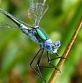 Common Spreadwing, or Emerald Damselfly. Lestes sponsa. Mature male - Flickr - gailhampshire (1).jpg