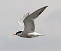 Common Tern 4 (5973664029).jpg