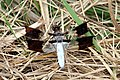 Common Whitetail Dragonfly full (3869550794).jpg