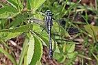 Common clubtail (Gomphus vulgatissimus) male Estonia 2.jpg