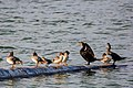 Common merganser and double-crested cormorant (36322837742).jpg