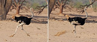 Bipedalism Terrestrial locomotion using two limbs