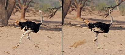 Common ostrich (Struthio camelus australis) male running composite