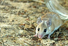 Common spiny mouse.JPG