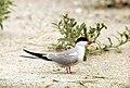 Common terns (Sterna hirundo) at Cape Cod National Seashore (ef5d747e-790c-4216-afab-f8c6b7a9b642).jpg