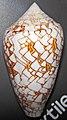 Conus textile (textile cone snail) 1 (24399204286).jpg