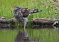 Cooper's Hawk bathing on a city street (47930518963).jpg