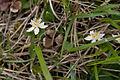 Coptis trifolia 03.jpg