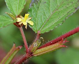 Corchorus trilocularis in Hyderabad, AP W IMG 0432.jpg