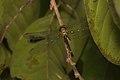 Corduliidae at Kadavoor.jpg