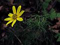 Coreopsis verticillata - Thread leaf Coreopsis.jpg