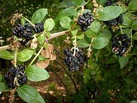 Coriaria myrtifolia 3c.JPG
