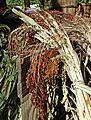 Corn Tassels 10-14 (15515238711).jpg