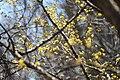Cornelian cherry dogwood (32581193157).jpg