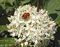 Cornus sanguineus with ladybird.jpg