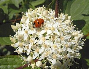 Cornaceae - Image: Cornus sanguineus with ladybird