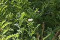 Coronilla viminalis - Jardín Botánico Canario Viera y Clavijo - Gran Canaria.jpg