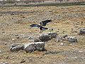 Corvus albus Etosha 2014 (3).jpg