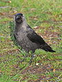 Corvus monedula 1a.JPG
