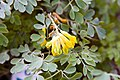 Corydalis lutea 8zz.jpg