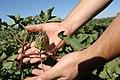 Cotton bolls maturing on Bobby Byrd's farm -- Hale County near Plainview, Texas. (25023973871).jpg