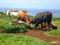 Cow 3.jpg