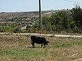Cow in Okny.jpg