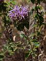 Coyote-mint (Monardella villosa globosa) (5794867597).jpg