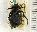 Cremastocheilus knochii LeConte 1853 - 5450719239.jpg