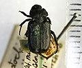 Cremastocheilus knochii LeConte 1853 - 5450719557.jpg