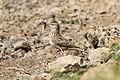 Crested Lark (Galerida cristata) (8079426142).jpg