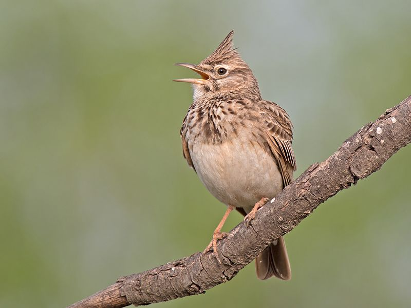 File:Crested lark singing.jpg