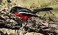 Crimson-breasted Shrike, Laniarius atrococcineus at Polokwane Nature Reserve, Polokwane, Limpopo, South Africa (14482499077).jpg