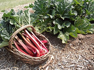 Petiole (botany) - Harvested rhubarb petioles with leaves attached