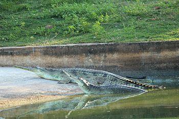 Crocodiles at Indira Gandhi Zoological Park, Visakhapatnam.jpg