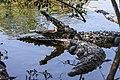 Crocodylus acutus sunbathing.jpg