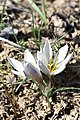 Crocus alatavicus 01.jpg