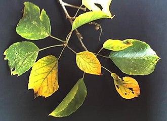 Croton sylvaticus - Image: Croton sylvaticus autumn