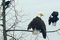 Crows Mobbing Bald Eagle 02.jpg