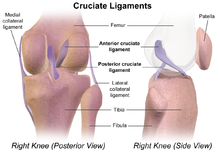 Cruciate ligament on torn acl diagram