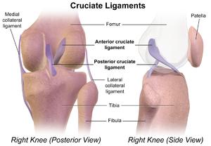 Cruciate ligament - Cruciate ligaments