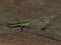 Cryptic Mantis (Sibylla pretiosa) (12598517813).jpg