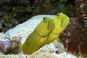 Gelbe Symbiosegrundeln (Cryptocentrus cinctus) (Aquarienaufnahme)