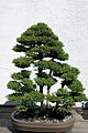 Cryptomeria japonica 5zz.jpg