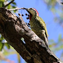 Cuban green woodpecker (Xiphidiopicus percussus percussus) male.JPG