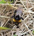 Cuckoo bumblebee (Bombus vestalis?), Sandy, Bedfordshire (9194547038).jpg