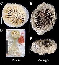 Culicia Oulangia ZooKeys-227-001-g007 jpeg.jpg